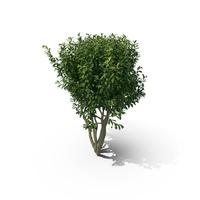 Prunus Laurocerasus PNG & PSD Images