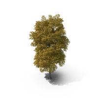 16 Meter Autumn Rock Elm Tree PNG & PSD Images
