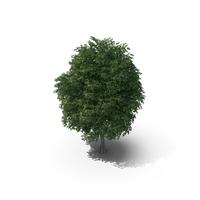 Rock Elm Tree PNG & PSD Images