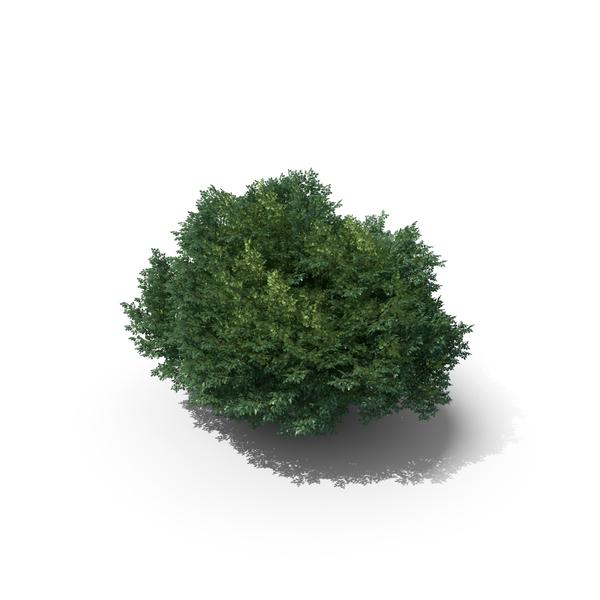 14 Meter Sessile Oak Tree PNG & PSD Images