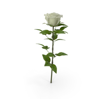 Rose White PNG & PSD Images