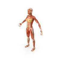 Female Muscular System Anatomy PNG & PSD Images