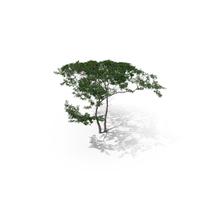 Acacia Tree PNG & PSD Images