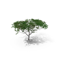 Acacia Tree Type PNG & PSD Images