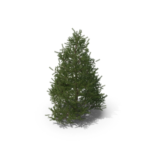 Spruce Tree 2m PNG & PSD Images