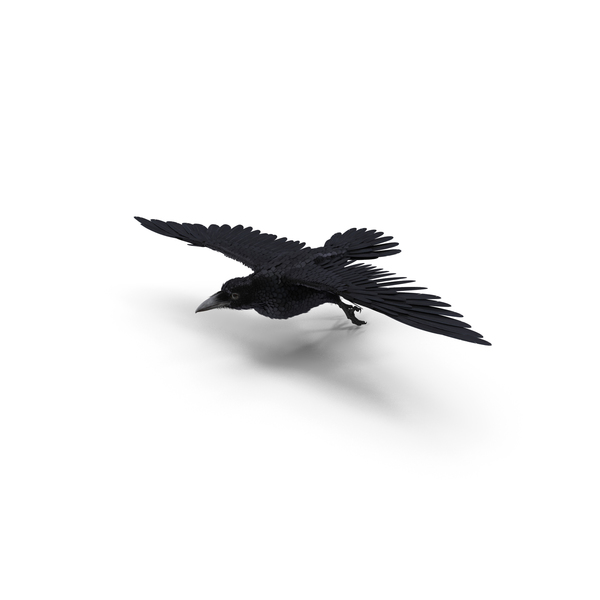 Flying Rook Corvus Pose PNG & PSD Images
