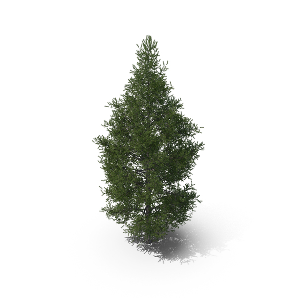 Spruce Tree 7m PNG & PSD Images
