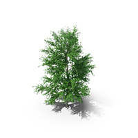 Mountain Maple - 960cm PNG & PSD Images