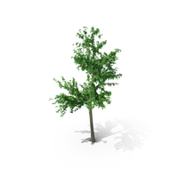 Mountain Maple - 640cm PNG & PSD Images