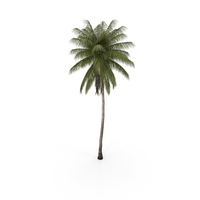 Coconut Palm PNG & PSD Images