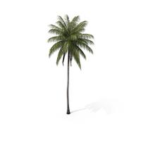 Palm Coconut PNG & PSD Images