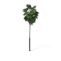 Palm Tree Washingtonia PNG & PSD Images
