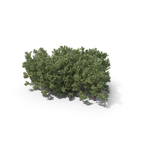 Boxwood PNG & PSD Images