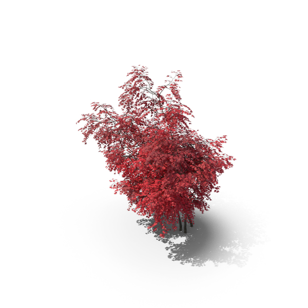 Japanese Maple PNG & PSD Images