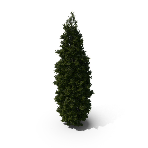 Thuja Tree PNG & PSD Images