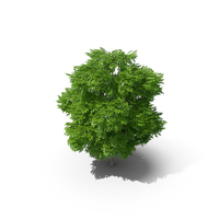 Wild Service Tree 6.5m PNG & PSD Images