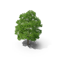 Wild Service Tree 14m PNG & PSD Images