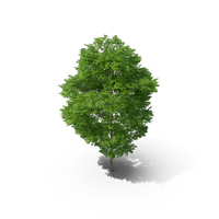 Wild Service Tree 11.5m PNG & PSD Images