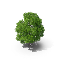 Wild Service Tree 9.7m PNG & PSD Images