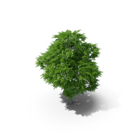 Rowan Tree 6m PNG & PSD Images