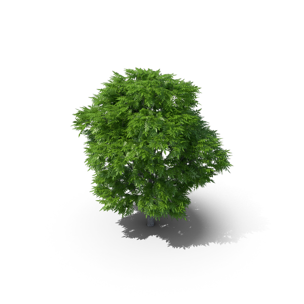 Rowan Tree 7m PNG & PSD Images