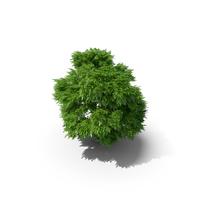 Rowan Tree 5.7m PNG & PSD Images