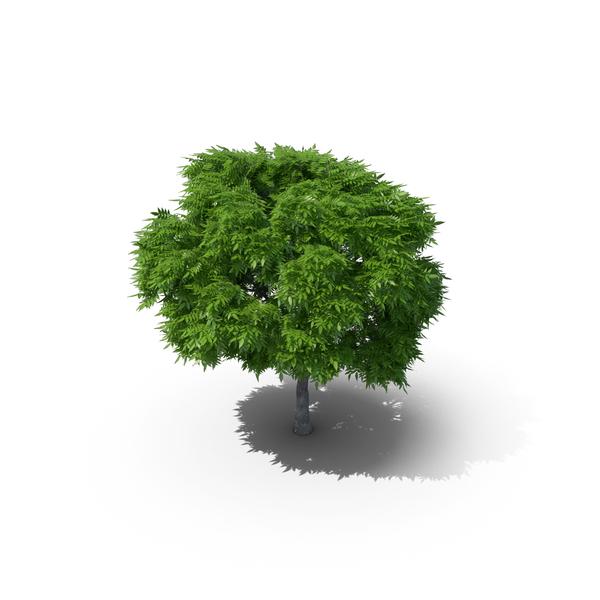 Rowan Tree 6.8m PNG & PSD Images