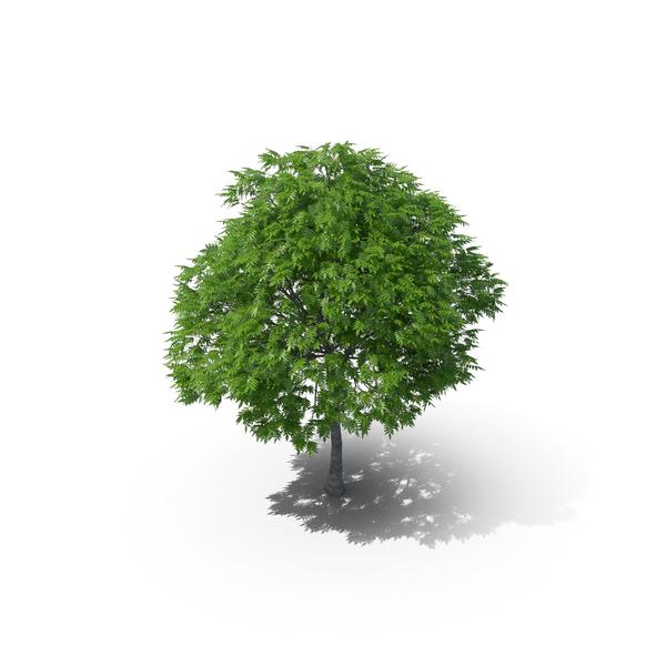 Rowan Tree 10m PNG & PSD Images
