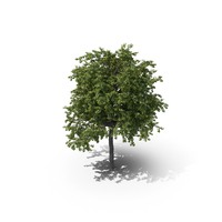Linden Tree PNG & PSD Images