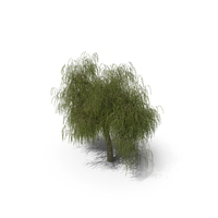 Willow Tree PNG & PSD Images