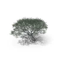 African Acacia Tree PNG & PSD Images