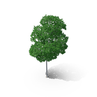 White Birch Tree PNG & PSD Images