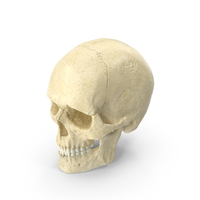 Caucasoid Male Skull PNG & PSD Images