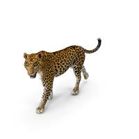 Leopard Walking Pose PNG & PSD Images