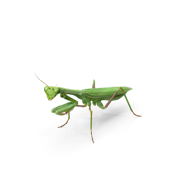 Mantis Religiosa Large Hemimetabolic Insect PNG & PSD Images