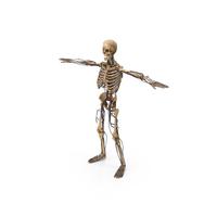 Human Circulatory & Skeleton System PNG & PSD Images