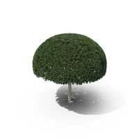 Plant English Holly PNG & PSD Images