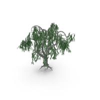 Acacia Salicina Tree PNG & PSD Images