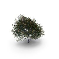 Mandarin Tree PNG & PSD Images