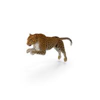 Panthera Pardus Jumping Pose with Fur PNG & PSD Images