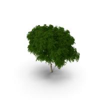 Peltophorum Pterocarpum Tree PNG & PSD Images