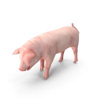 Pig Piglet Landrace Standing Pose PNG & PSD Images