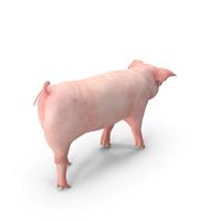 Pig Piglet Landrace Walking Pose PNG & PSD Images