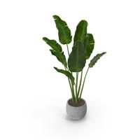Plant Strelitzia Nicolai PNG & PSD Images