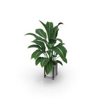 Plant Aglaonema Modestum PNG & PSD Images