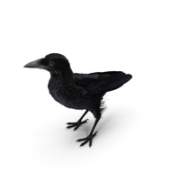 Raven Corvus Standing Pose PNG & PSD Images