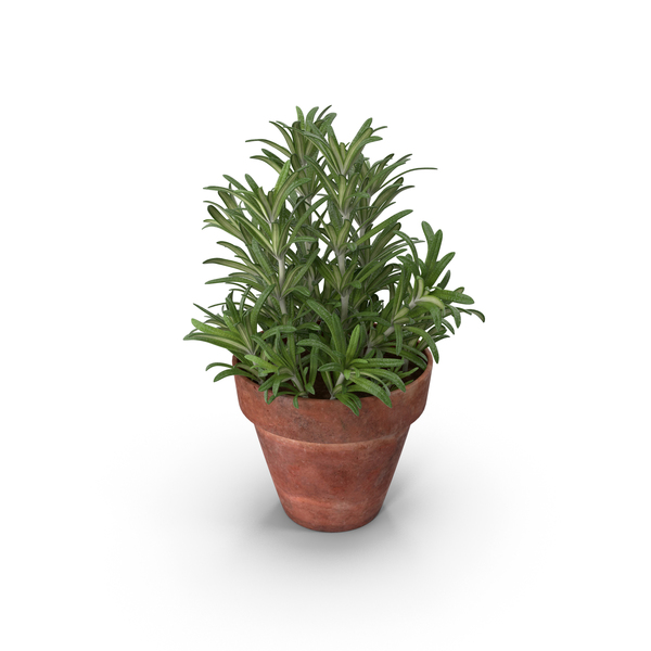 Rosemary Plant in Pot PNG & PSD Images