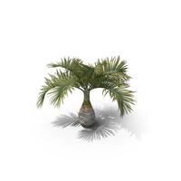 Palm Tree Hyophorbe Lagenicaulis PNG & PSD Images