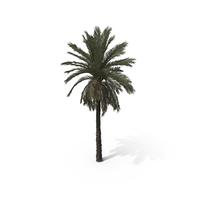 Palm Tree Phoenix Dactylifera PNG & PSD Images