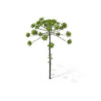 Pine Tree Araucaria Angustifolia PNG & PSD Images